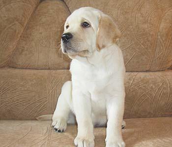 фото щенки лабрадора 2 месяца